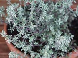 Самая мощная трава, которая уничтожает стрептококк, герпес, кандидоз и грипп