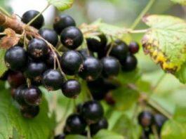 Если регулярно в подходящий сезон употреблять ягоды черной смородины, то можно свести к нулю все инфекционные заболевания и повысить иммунитет