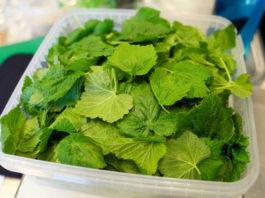 Зачем же я каждый год сушу листья смородины. Да потому что они лечат кучу болезней, причем без вреда для организма