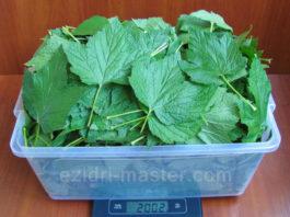 Теперь каждый год заготавливаю смородиновые листья — это отличное лекарство для почек и суставов