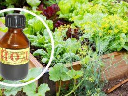 Одна капля йода, и вы не узнаете свой огород. Против фитофтороза, мучнистой росы и вредителей